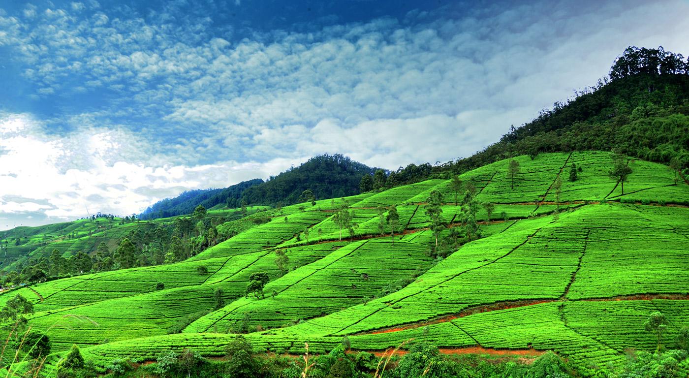 Ceylon - paradise of tea